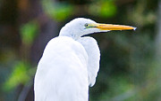 Hilton Head Prints - Egret Preening Print by Scott Hansen