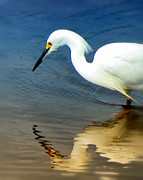 Egret Reflected Print by Diane Wood