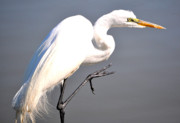 Egret Photos - Egret Salute by Emily Stauring