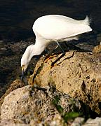 Snowy Egret Originals - Egret Stalking by Joseph G Holland