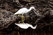 Kayaking Posters - Egret Stalking Poster by Scott Hansen