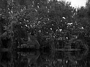 Slough Prints - Egrets at Gator Lake Print by Juergen Roth