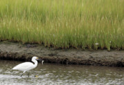 Connecticut Wildlife Prints - Egrets Catch Print by Karol  Livote