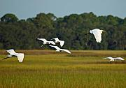 Egrets Framed Prints - Egrets in Flight on Jekyll Island Framed Print by Bruce Gourley