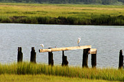 Salt Marsh Posters - Egrets in the Salt Marsh Poster by Bill Cannon