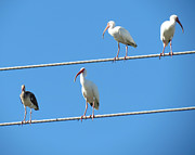 Bird On Tree Prints - Egrets On A Wire II Print by Chris Andruskiewicz