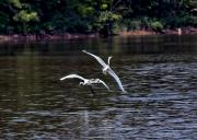 Egrets V Print by Gary Adkins