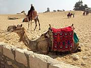 Egypt - Camel Getting Ready For The Ride Print by Munir Alawi