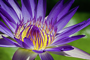 Stamen Photos - Egyptian Blue Lily by MaViLa