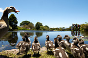 Duck Pond Prints - Egyptian geese Print by Fabrizio Troiani