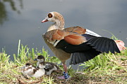 Close Up Egyptian Geese And Babies Prints - Egyptian Goose Stretching.. Print by Valia Bradshaw