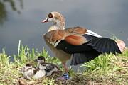 Egyptian Goose Stretching.. Print by Valia Bradshaw