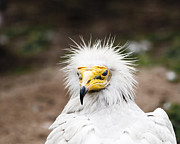 On-the-look-out Acrylic Prints - Egyptian Vulture by Darcy Michaelchuk