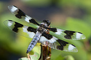 Eight-spotted Skimmer  Print by Sharon  Talson