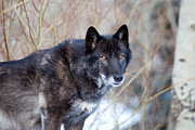 Wolf Photograph Prints - El Lobo Print by Jim Garrison
