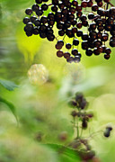 Native Plant Posters - Elderberry Shine Poster by Rebecca Sherman