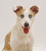 Lurcher Photo Posters - Elderly Collie Lurcher Dog Poster by Jane Burton