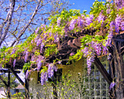 Overhang Painting Framed Prints - Eleanors Wisteria Framed Print by Dominic Piperata