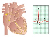 Heart Healthy Photo Posters - Electrical Conduction Of The Heart Poster by Peter Gardiner