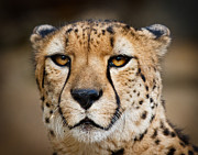 Acinonyx Jubatus Photos - Elegant and Intense by Carl Jackson