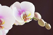 Moth Orchid Photos - Elegant Beauty by Dhmig Photography