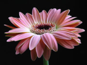 Flower Photos Posters - Elegant Daisy  Poster by Juergen Roth
