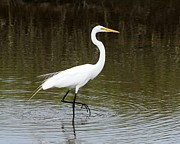 Great Birds Prints - Elegant Egret Print by Al Powell Photography USA