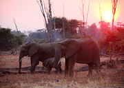 Zambia Posters - Elephant At Sunset Poster by Gualtiero Boffi
