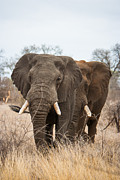 Mammal Photos - Elephant Bulls by Hein Welman