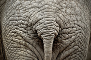 Part Of Framed Prints - Elephant But Framed Print by images by Luis Otavio Machado