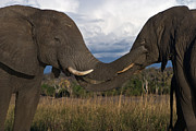 Caress Posters - Elephant Caress Botswana Poster by David Kleinsasser
