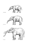 Lineage Prints - Elephant Evolution, Artwork Print by Gary Hincks