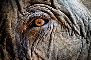 Extreme Close Up Prints - Elephant Eye Print by Photo by Volanthevist