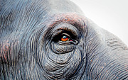 Animal Eye Framed Prints - Elephant Eye Framed Print by Selvin