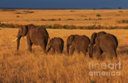 Herbivores Prints - Elephant Family - Sunset Stroll Print by Sandra Bronstein