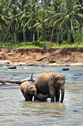 Sri Lanka Photos - Elephant family by Jane Rix