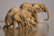 Elephant Drinking Framed Prints - Elephant family Framed Print by Johan Elzenga
