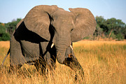 Mammalia Posters - Elephant Poster by Gregory G Dimijian and Photo Researchers