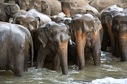 Bathing Photo Posters - Elephant herd in river Poster by Jane Rix