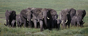 Slide Photographs Prints - Elephant Herd on the Move - Serengeti Plains Print by Craig Lovell