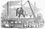 Hoist Photo Framed Prints - Elephant Hoist, 1858 Framed Print by Granger