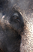 Black Head Photos - Elephant by Jane Rix