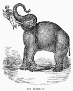 Tusk Prints - Elephant Performer, 1843 Print by Granger