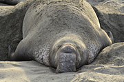 Grumpy Posters - Elephant Seal 3 Poster by Bob Christopher