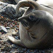 Elephant Seals Metal Prints - Elephant Seal Metal Print by Ernie Echols