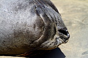 Elephant Seals Posters - Elephant Seal Snout . 7D16085 Poster by Wingsdomain Art and Photography