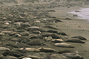 Roosting And Resting Posters - Elephant seals bask Poster by Phil Schermeister