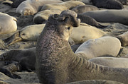 Mating Season Framed Prints - Elephant Seals Framed Print by Bob Christopher