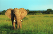 African Animals Photo Posters - Elephant Poster by Sebastian Musial