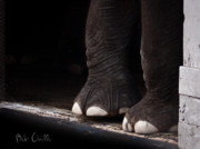 Closeup Photo Prints - Elephant Toes Print by Bob Orsillo
